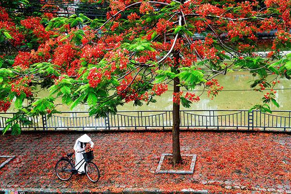 Thành phố hoa phượng đỏ