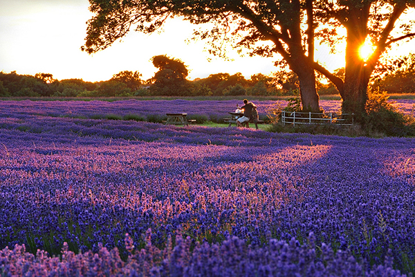 Những cánh đồng hoa tại Pháp