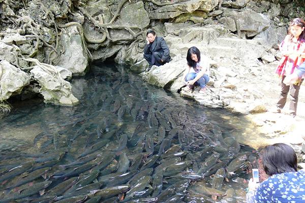 Đàn cá thần tại suối cá thần Cẩm Lương