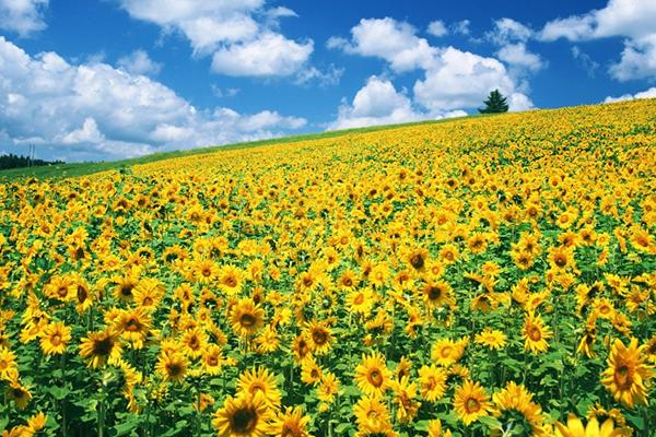 Hoa hướng dương vàng rực một góc trời