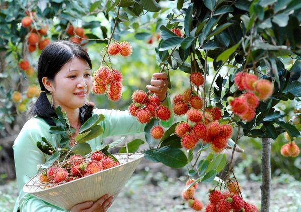 Vườn trái cây Vàm Xám - Phong Điền